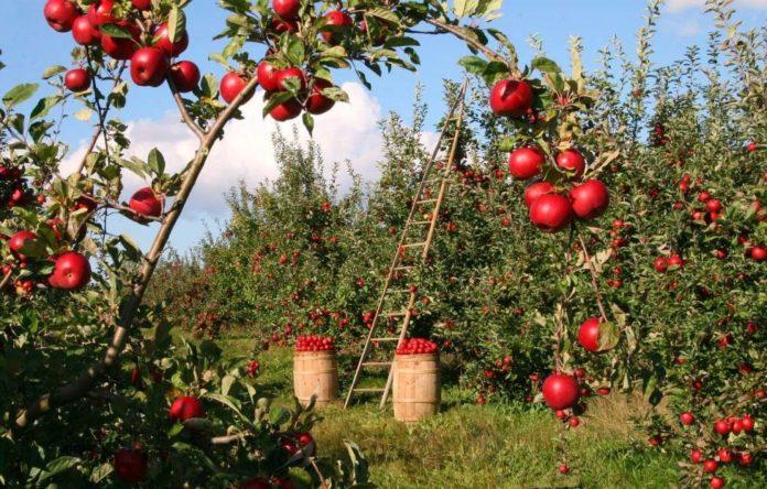 câte calorii are un măr