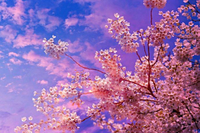 cele mai frumoase flori din lume cireși înfloriți
