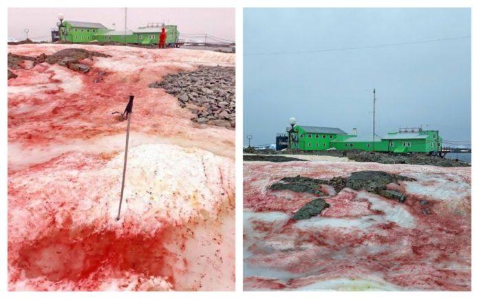 zăpadă roșie antarctica
