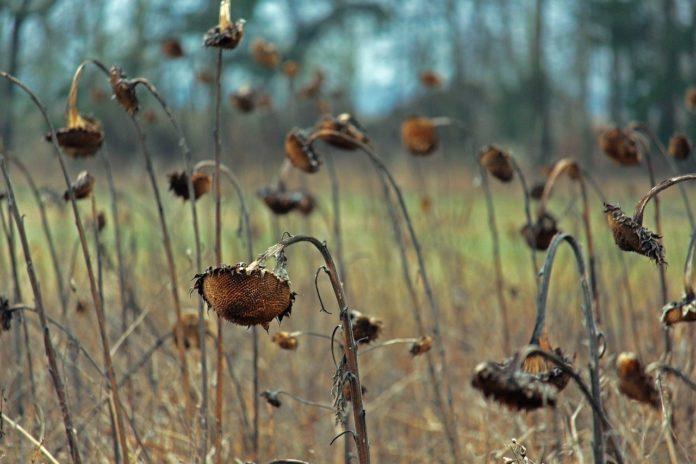 secetă floarea soarelui