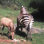 zebră kenya
