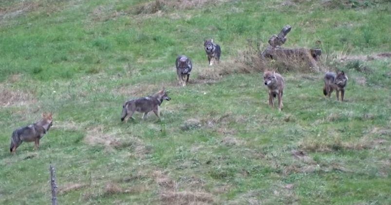 lupi neamț