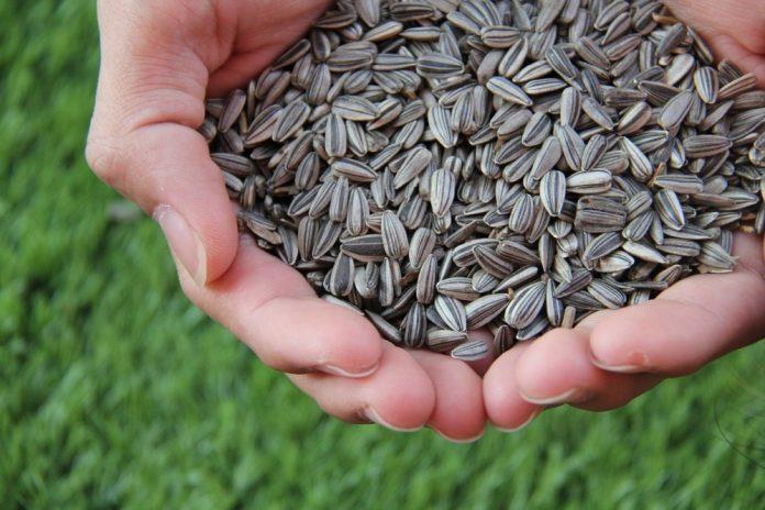 semințe floarea soarelui calorii