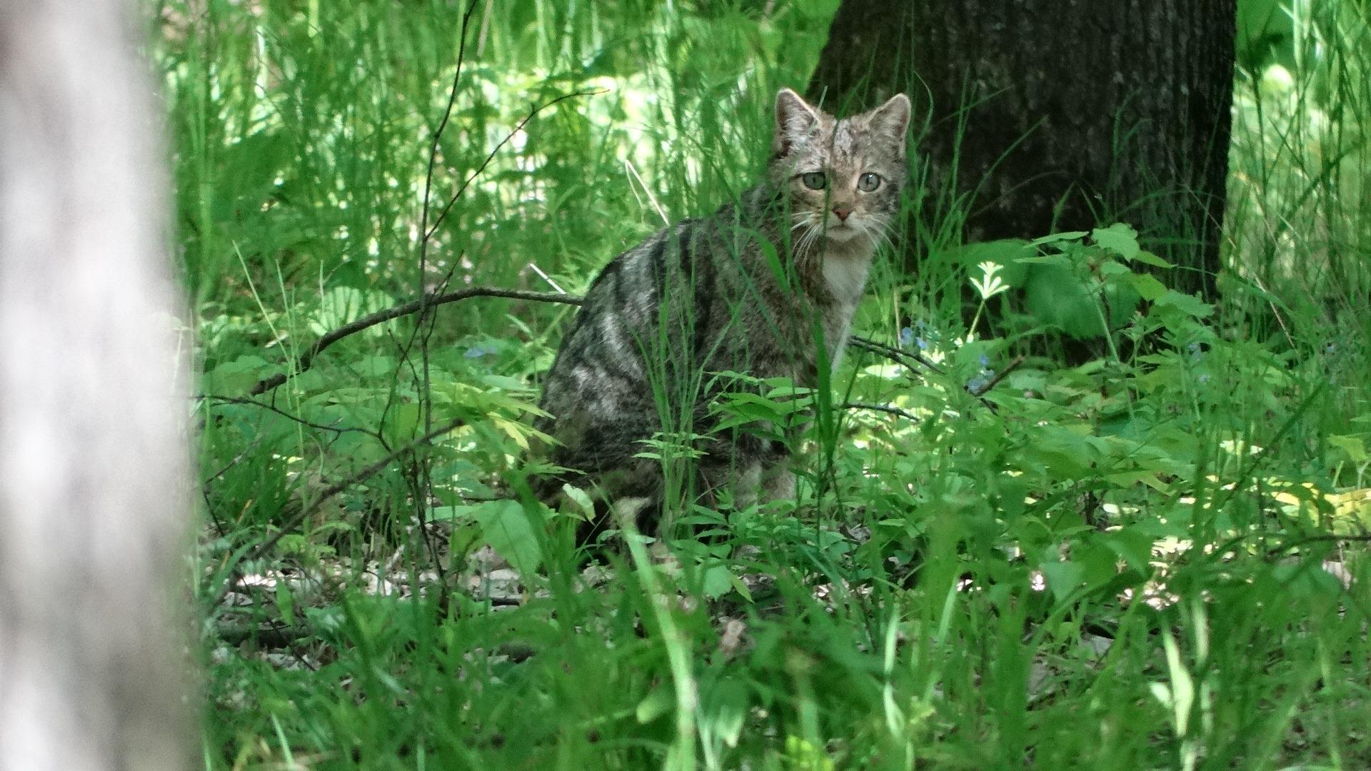 Pisica sălbatică surprinsă într-o pădure din Vaslui FOTO: Romsilva/Facebook