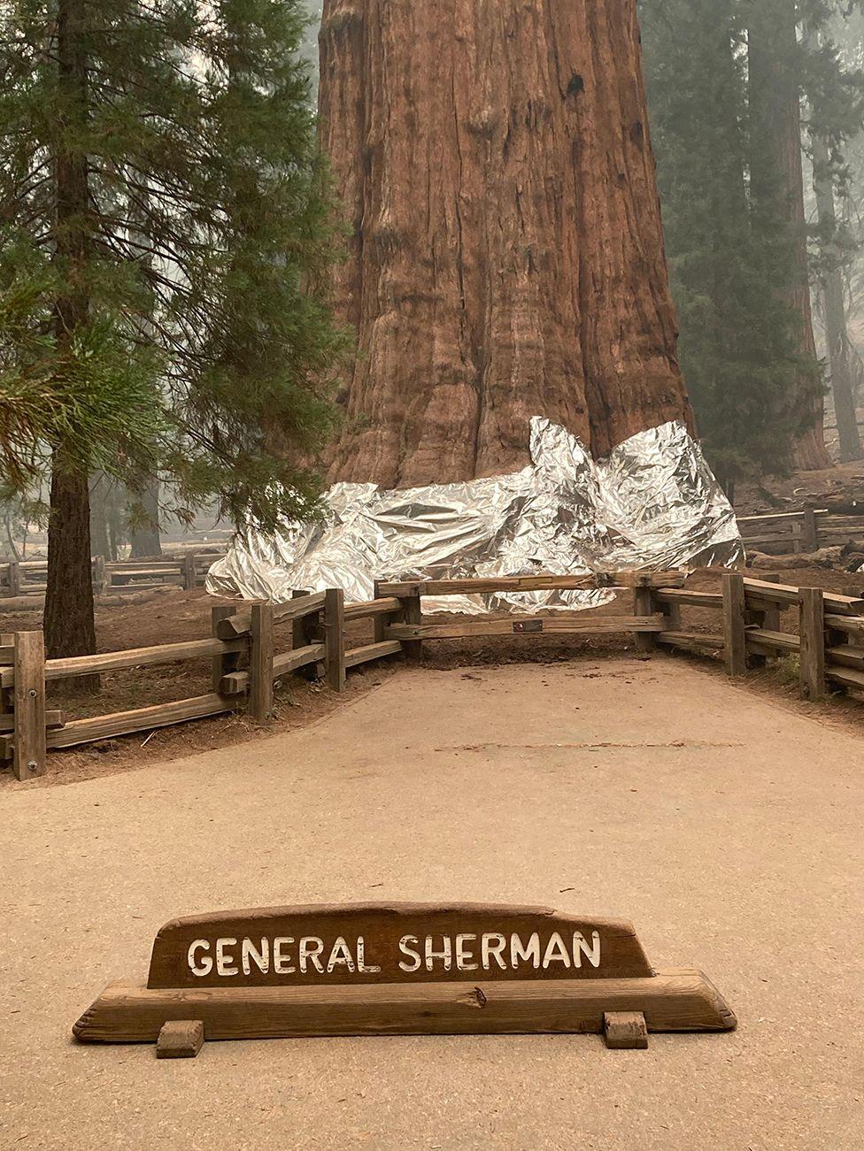 sequoia cel mai mare arbore din lume generalul sherman